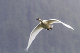 Adult Trumpeter Swan (Cygnus Buccinator) Near Leconte Glacier Outside Petersburg Photographic Print by Michael Nolan