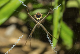 Yellow and Black Garden Spider (Argiope Aurentia) with Normal Zigzag Stabilimentia on Web; Nosara Photographic Print by Rob Francis
