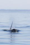 Resident Killer Whale Bull Photographic Print by Michael Nolan