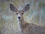 Young Mule Deer (Odocoileus Hemionus) Photographic Print by James Hager