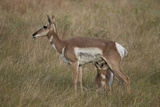 Pronghorn (Antilocapra Americana) Nursing Photographic Print by James Hager