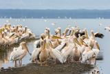 Great White Pelicans (Pelecanus Onocrotalus), Lake Nakuru National Park, Kenya, East Africa, Africa Photographic Print by Ann and Steve Toon