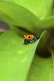 Poison Dart Frog Photographic Print by Rob Francis