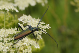 Musk Beetle (Aromia Moschata) Foraging on Wild Carrot (Queen Anne's Lace) (Daucus Carota) Photographic Print by Nick Upton