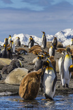 King Penguin (Aptenodytes Patagonicus) Adult Feeding Chick Photographic Print by Michael Nolan