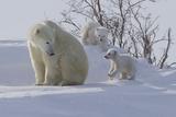 Polar Bear (Ursus Maritimus) and Cubs Photographie par David Jenkins