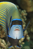 Emperor Angelfish (Pomacanthus Imperator) Close-Up Photographic Print by Mark Doherty