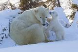 Polar Bear (Ursus Maritimus) and Cubs Fotografisk trykk av David Jenkins