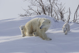 Polar Bear (Ursus Maritimus) and Cubs Photographic Print by David Jenkins