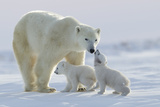 Polar Bear (Ursus Maritimus) and Cubs Fotodruck von David Jenkins