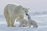 David Jenkins - Polar Bear (Ursus Maritimus) and Cubs - Fotografik Baskı