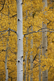 Aspen Trunks Among Yellow Leaves Photographic Print by James Hager