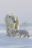 Polar Bear (Ursus Maritimus) and Cubs Photographie par David Jenkins