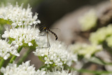 Net-Winged Midge (Apistomyia Elegans) Feeding on Umbel Flowers by an Unpolluted Mountain Stream Photographic Print by Nick Upton