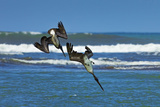 Pair of Brown Pelicans (Pelecanus Occidentalis) Dive for Fish at the Nosara River Mouth Photographic Print by Rob Francis