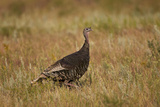Wild Turkey (Meleagris Gallopavo) Photographic Print by James Hager