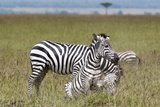Common Zebra (Equus Quagga) Fighting, Masai Mara National Reserve, Kenya, East Africa, Africa Photographic Print by Sergio Pitamitz