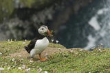 Puffin, Wales, United Kingdom, Europe Photographic Print by Andrew Daview