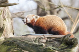 Red Panda, Cotswold Wildlife Park, Costswolds, Gloucestershire, England, United Kingdom, Europe Photographic Print by Charlie Harding
