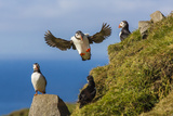 Atlantic Puffins (Fratercula Arctica), Mykines Island, Faroes, Denmark, Europe Photographic Print by Michael Nolan