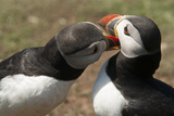 Two Puffins Billing, Wales, United Kingdom, Europe Photographic Print by Andrew Daview