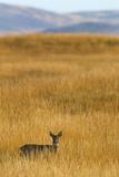 Roe Deer (Capreolus Capreolus), Islay, Scotland, United Kingdom, Europe Photographic Print by Ann and Steve Toon