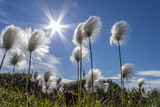 Arctic Cottongrass (Eriophorum Callitrix), Heckla Haven, Northeast Greenland, Polar Regions Reproduction photographique par Michael Nolan