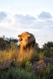 Male Lion Bathed in Evening Light and Roaring, Amani Lodge, Near Windhoek, Namibia, Africa Photographic Print by Lee Frost