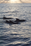 Pilot Whales Off the Coast of Dominica, West Indies, Caribbean, Central America Photographic Print by Lisa Collins