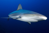 Grey Reef Shark, Turks and Caicos, West Indies, Caribbean, Central America Photographic Print by Dan Burton