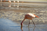 A James Flamingo Feeding in a Shallow Lagoon on the Bolivian Altiplano, Bolivia, South America Photographic Print by James Morgan