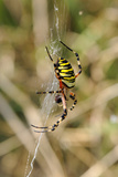 Wasp Orb Web Spider (Argiope Bruennichi) with Prey, Near Marburg, Hesse, Germany, Europe Photographic Print by Nick Upton