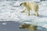 Adult Polar Bear (Ursus Maritimus) on the Ice in Bear Sound Photographic Print by Michael Nolan