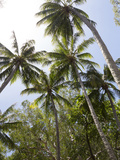 Palm Trees on Beach at Palm Cove, Cairns, North Queensland, Australia, Pacific Photographic Print by Nick Servian