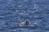 Humpback Whale (Megaptera Novaeangliae), Vikingbukta, Northeast Greenland, Polar Regions Photographic Print by Michael Nolan