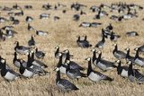 Barnacle Geese (Branta Leucopsis) in Stubble Field, Islay, Scotland, United Kingdom, Europe Photographic Print by Ann and Steve Toon