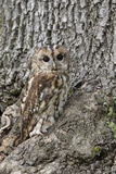 Tawny Owl (Strix Aluco), Captive, Camouflaged on Tree, United Kingdom, Europe Photographic Print by Ann and Steve Toon