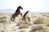Two Wild Horses Sparring in the Bleached Landscape Near Aus, Namibia, Africa Photographic Print by Lee Frost