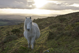 Pony in Evening Light on Dartmoor, Dartmoor National Park, Devon, England, United Kingdom Photographic Print by Peter Groenendijk