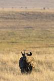 Black Rhino (Diceros Bicornis), Lewa Wildlife Conservancy, Laikipia, Kenya, East Africa, Africa Photographic Print by Ann and Steve Toon