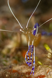 Pederson Shrimp (Periclimenes Pedersoni), Dominica, West Indies, Caribbean, Central America Photographic Print by Lisa Collins