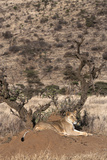 Lioness (Panthera Leo), Lewa Wildlife Conservancy, Laikipia, Kenya, East Africa, Africa Photographic Print by Ann and Steve Toon