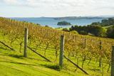 Autumn Vineyard on Waiheke Island, Auckland, North Island, New Zealand, Pacific Lámina fotográfica por Matthew Williams-Ellis