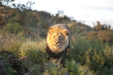 Male Lion Bathed in Evening Light, Amani Lodge, Near Windhoek, Namibia, Africa Photographic Print by Lee Frost