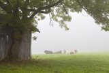 Cattle in Fog, Near Fussen, Bavaria, Germany, Europe Photographic Print by Miles Ertman