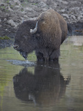 Bison (Bison Bison) Drinking from a Pond Photographic Print by James Hager