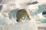 Polar Bear on Floating Ice, Davis Strait, Labrador See, Labrador, Canada, North America Papier Photo par Gabrielle and Michel Therin-Weise