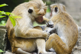 Tote Macaque Monkeys Grooming at Dambulla, North Central Province, Sri Lanka, Asia Photographic Print by Christian Kober