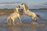 Camargue Horses, Stallions Fighting in the Water, Bouches Du Rhone, Provence, France, Europe Photographic Print by Gabrielle and Michel Therin-Weise