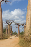 Alley of the Baobabs (Adansonia Grandidieri), Morondava, Madagascar, Africa Photographic Print by Gabrielle and Michel Therin-Weise